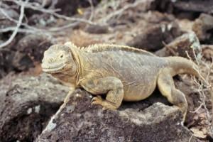 iguanas-terrestres-conolophus-pallidus-en-santa-fe-las-islas-galapagos-ecuador